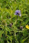 Travniška izjevka (Succisa pratensis) - rastlina, pomembna za travniškega postavneža©Mojca Podletnik
