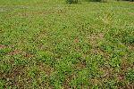 Tudi na junijsko košenih travnikih močno odganja zdravilna strašnica©Mojca Podletnik