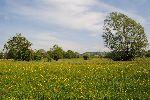 Vlažni travniki z vrbami v dolini Ledave (foto: M.Podletnik)