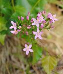 Navadna tavžentroža (Centaurium erithraea) (foto: M. Podletnik)