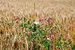 Žito in cvetoči grahor (foto: M. Podletnik)