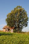 Z velikih in posamič rastočih dreves radi prepevajo skoviki (foto: M. Podletnik)
