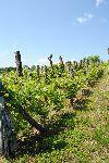 Ekstenzivni vinograd (foto: M.Podletnik)