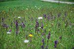 travnik s travniškimi orhidejami, kukavicami (foto: S.Dešnik)