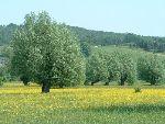 mokrotni travnik z glavatimi vrbami (foto: S.Dešnik)